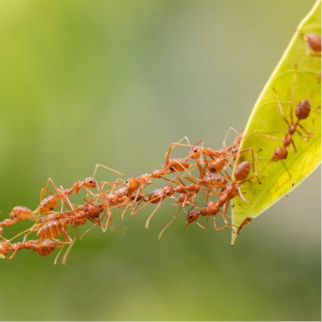 fourmis faisant un pont pour passer un obstacle