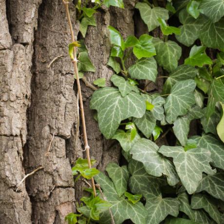 lierre grimpant sur un tronc d'arbre